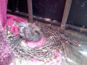 Baby Rat w/feathers