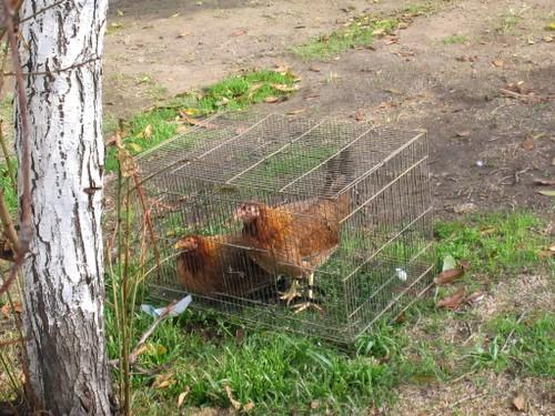 chickcage